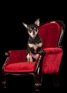 Chihuahua photos