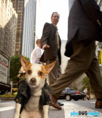 Chihuahua, Chihuahua mix, Chihuahuas, Dogs, Hot Dogs, animals, phoDOGraphy, street photography