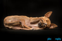 Chihuahua, Chihuahuas, Dogs, Eli, NYC, New York, New York City, _Location, animals, pets, phoDOGraphy, studio