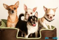 Chihuahua, Chihuahuas, Dogs, animals, pets, phoDOGraphy