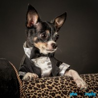 Chihuahua, Chihuahuas, Dogs, NYC, New York City, Tourism, Travel, U.S., USA, United States, animals, pets, phoDOGraphy