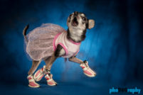 Chihuahua, Chihuahuas, Dogs, Hot Dogs, animals, phoDOGraphy