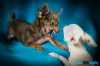 Chihuahua, Chihuahuas, Dogs, NYC, New York City, Tourism, Travel, U.S., USA, United States, animals, phoDOGraphy
