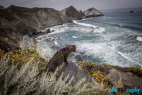 CA, California, Cats, PCH, Pacific Coast Highway, Pacific Coast Highway One, Tourism, Travel, Traveling with a cat, U.S., USA, United States, animals, leashed cat, on a leash, phoDOGraphy, traveling cat, traveling with cats