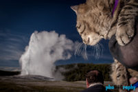 Cats, Tourism, Travel, Traveling with a cat, U.S., USA, United States, WY, Wyoming, Yellowstone National Park, animals, leashed cat, on a leash, phoDOGraphy, traveling cat, traveling with cats