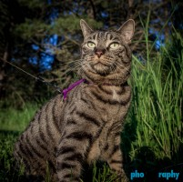 Cats, SD, South Dakota, Tourism, Travel, Traveling with a cat, U.S., USA, United States, animals, leashed cat, on a leash, phoDOGraphy, traveling cat, traveling with cats