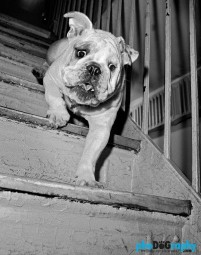 Dogs, English Bulldog, animals, pets, phoDOGraphy, street photography