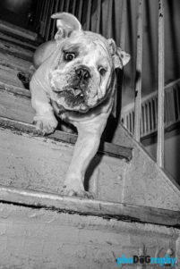 Dogs, English Bulldog, NYC, New York, New York City, _Location, animals, pets, phoDOGraphy, street photography