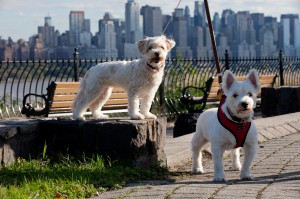 Westies in NJ with View of Manhattan