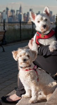 New Jersey Westies Enjoy Manhattan Skyline during phoDOGraphy Pet Portrait Shoot