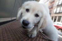 Golden Retriever Puppy Portrait in Manhattan