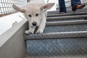 Golden Retriever Puppy Portrait in Manhattan