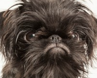 Brussels Griffon Puppy