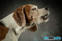 Beagle, Dogs, Pet Portraits Manhattan, studio