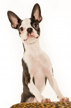 Boston Terrier Studio Portrait