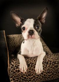 Boston Terrier portraits