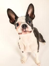 Boston Terrier photos