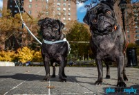 Breed, Dogs, NYC, New York, New York City, Pugs, Techniques (photo), _Location, _Meta, animals, pets, phoDOGraphy, pug, street photography