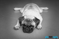 Breed, Dogs, Pugs, Techniques (photo), _Meta, animals, at-home, in the home, pets, phoDOGraphy, pug