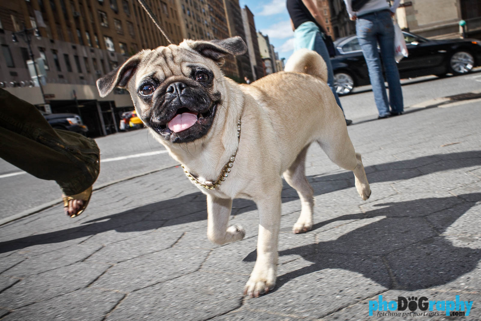 pug rescue ny pug shots lovable new york pug photos 8302
