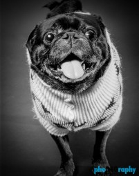 Breed, Dogs, Pugs, animals, phoDOGraphy, pug