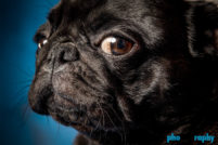 Breed, Dogs, Pugs, animals, pets, phoDOGraphy, pug
