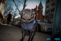 Breed, Dogs, Pugs, Techniques (photo), _Meta, animals, pets, phoDOGraphy, pug, street photography