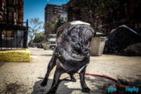 Breed, Dogs, Hot Dogs, NYC, New York City, Pugs, Techniques (photo), Tourism, Travel, U.S., USA, United States, _Meta, animals, phoDOGraphy, pug, street photography