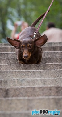 Dachshund, Dogs, NYC, New York, New York City, pet photographer, pet photography, street photography