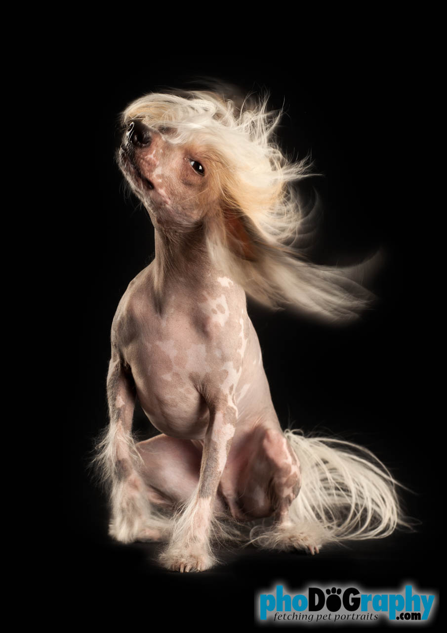 Hairless chinese dogs