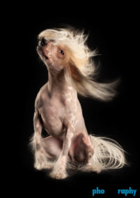 Chinese Crested Hairless, Dogs, animals, pets, phoDOGraphy