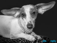 Dachshund, Dogs, animals, phoDOGraphy