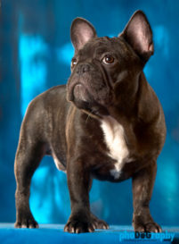 Dogs, French Bulldog, French Bulldogs, animals, pets, phoDOGraphy
