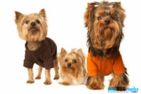 Dogs, Yorkshire Terrier, animals, pets, phoDOGraphy