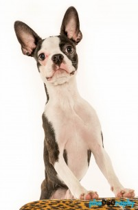 Boston Terrier, Dogs, animals, pets, phoDOGraphy