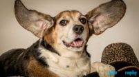 Beagle, Dogs, animals, phoDOGraphy, studio