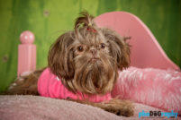 Dogs, Hot Dogs, Imperial ShihTzu, NYC, New York City, Tourism, Travel, U.S., USA, United States, animals, phoDOGraphy
